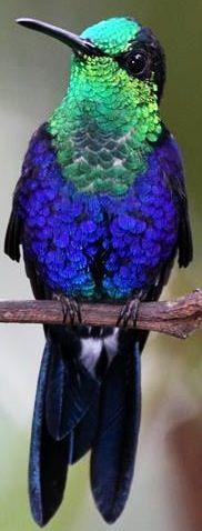 Green-crowned Woodnymph is a species of hummingbird found in eastern Panama, south through western Colombia, Ecuador, and far north-western Peru; via Bird's Eye View at www.Facebook.com/aBirdsEyeViewForYou
