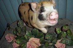Potbelly Pig Photos   ThriftyFun