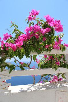 Buganvilla - Buganvilla flowers. Oia, Santorini, Greece.