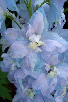 Pale blue flowers