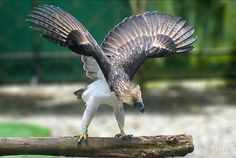 Philippine eagle by wllim, via Flickr