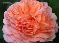 Full size picture of Shrub Rose 'Louise Clements' (Rosa)