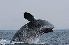 Rare Whale Calls Are Being Heard Right off New York Coast An acoustic buoy set up in the New York Bight is catching its first recordings ofendangered North Atlantic right whales. Woods Hole Oceanographic Institution and the Wildlife Conservation Society deployed the high-tech buoy in the hopes of …