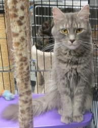 MELODY is an adoptable Domestic Medium Hair-Gray Cat in Taunton, MA.  ...