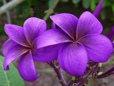 Violet V Plumeria - Gardens For Life Plumeria Flowers, Hawaiian Flowers, Tropical Flowers, Exotic Flowers, Pretty Flowers, Purple Flowers, Tropical Plants, Lilies Flowers, Yellow Roses
