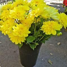 Bright yellow dahlias from Fernrock Farm.