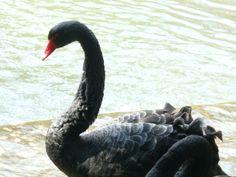 Black Swan In London...