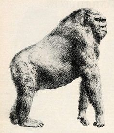 A gigantic ape standing 10 feet tall and weighing up to 1,200 pounds lived alongside humans for over a million years, researchers say. A fresh analysis of two previously found skulls determined they re 200,000 old, making them the oldest known examples of our species. Yet fossil records indicate musical instruments, drawings, needles and other sophisticated tools didn t appear until about 50,000 years ago, suggesting Homo sapiens had a pretty lowbrow culture for 150,000 years. Well…