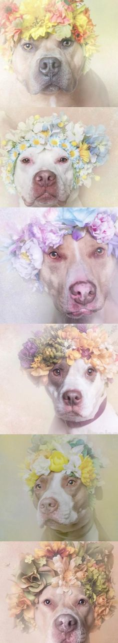 """Photographer Sophie Gamand launched a series """"Flower Power: Pit Bulls of the Revolution"""" which aims to refocus how we view pit bulls."""