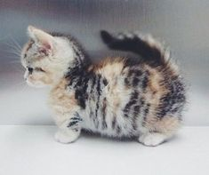 Cute Fluffball Kitty