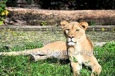 8x10 Lioness Female Lion Photo Print Buffalo by DeesDigitalDelight, $20.00