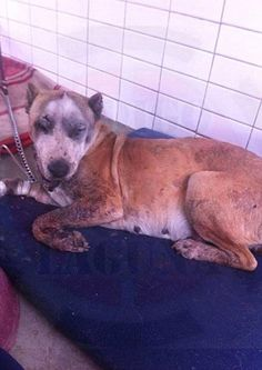 Justice For Pregnant Dog, Chola! Her Mouth Was Shattered After Firework Was Duct Tapped and Lighted Inside!