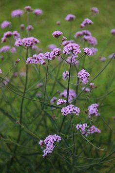 Buy verbena Verbena bonariensis 'Lollipop (PBR)': Delivery by Crocus Herbaceous Border, Herbaceous Perennials, Hardy Perennials, Plant Design, Garden Design, Beautiful Gardens, Beautiful Flowers, Purple Flowering Plants, Flora