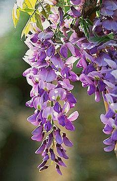 New post on violetvio Different Kinds Of Flowers, Purple Wisteria, Climbing Vines, Ornamental Plants, Purple Aesthetic, Warm Colors, Garden Plants, Planting Flowers, Mary Mary