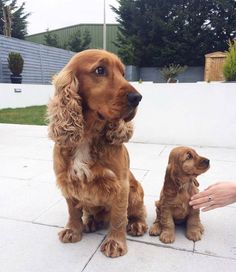 Check out this amazing Cocker Spaniel Dad and his puppy son. Two amazing spaniels that look like a loving family. Cute and small! Funny Cats And Dogs, Cute Dogs And Puppies, Funny Animals, Cute Animals, Doggies, Baby Animals, Perro Cocker Spaniel, Dogs Tumblr, Sweet Dogs