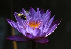 A water lily provides nectar for a bee.Your garden will thank you for it, as will the birds and the bees. They need our help, too, to stay healthy and happy in our increasingly concrete society.