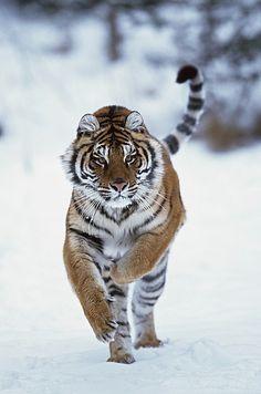 Japanese Embroidery Tiger Siberian Tiger (Panthera Tigris Altaica) Running In The Snow Canvas Art - David Ponton Design Pics x - Pet Tiger, Tiger Art, Tiger Cubs, Bengal Tiger, Bear Cubs, Baby Tigers, Tiger Photography, Wildlife Photography, Beautiful Creatures