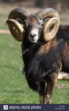 Image result for soay ram