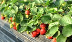 How to grow strawberries ~ Two common methods can be used with good results: Matted Row System and Hill System. You can find helpful information about these methods here: Oregon State University (pdf file download available)…