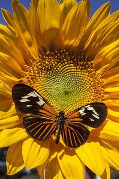 SUNFLOWER AND BUTTERFLY....PARTAGE OF HIROKO JOE....