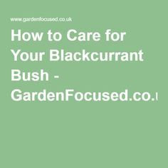 How to Care for Your Blackcurrant Bush - GardenFocused.co.uk