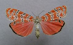 Ornate Moth or Ornamented Utetheisa (Utetheisa bella)
