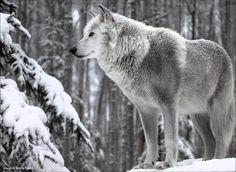Alaskan Wolf in the Woods - Monty Sloan - WolfPhotography.com