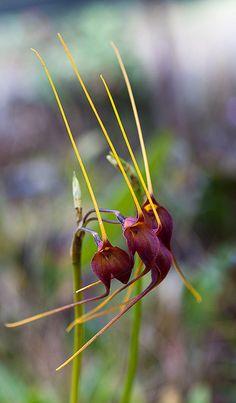 Masdevallia orchid