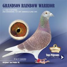 Pigeon Pictures, Pigeon Breeds, Homing Pigeons, Pigeon Loft, Dove Pigeon, Eye Close Up, Rainbow Warrior, Warrior 1, Best Stocks