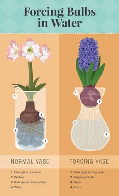 Forcing Bulbs in Water - Forcing Bulbs