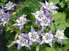 Centerton Nursery - 'Origami Blue & White' Reblooming Columbine
