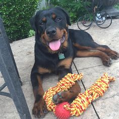 Rottweiler Breed, Rottweiler Love, Big Dogs, Mans Best Friend, Cute Puppies, Cute Animals, Rottweilers, Softies, Double Tap