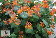 LONICERA brownii Chèvrefeuille grimpant mi-ombre, sol humifère (paillage) Floraison rouge-orange de juin à fin octobre, croissance moyenne et taille en fin d'hiver. Hauteur: 4 à 5 m