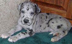 Blue merle great dane puppy