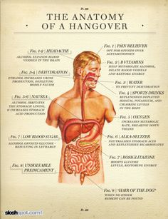 """thelifeofapremed: """" The Anatomy of a hangover! Medical term for hangover is veisalgia! Bloody Mary, The Hangover, Hangover Cures, Hangover Symptoms, Hangover Humor, Just In Case, Just For You, Anatomy And Physiology, Blood Vessels"""