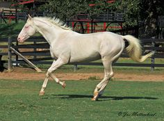 cremello - Thoroughbred stallion Goldmaker