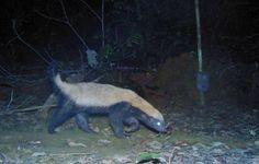 Gabon's wildlife includes viral video celebrity, the honey badger (Mellivora capensis), a small but tenacious hunter that's known to eat snakes, raid beehives and stand up to lions.
