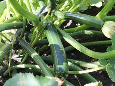 Výsledek obrázku pro zelená cuketa Zucchini, Vegetables, Food, Meal, Essen, Vegetable Recipes, Hoods, Meals, Eten