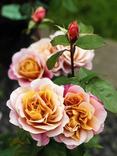 WSHG.NET   Care for Roses, Part 1 — Modern Roses as Part of a Mixed Sunny Border   For The Garden   April 13, 2015   WestSound Home & Garden