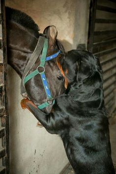 Rottweiler and Horse love