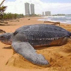 Leatherback in the wall of Luquillo