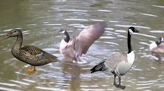 Two Canadian Geese And  A  Mallard At The Pond(They  Were Mating Until T...
