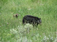Armand's Rancho Del Cielo: First Grizzly Bear Sighting At Yellowstone Nationa...