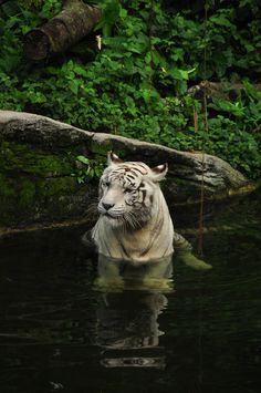 White Tiger in Water, this is true peace. White Bengal Tiger, White Tigers, White Lions, Tiger In Water, Jaguar, Tiger Species, Animals Beautiful, Cute Animals, Gato Grande