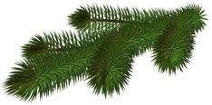 Transparent Pine Branch 3D PNG Picture