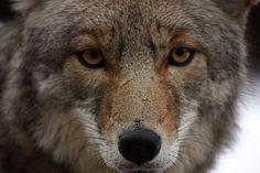 Homestead Predators – Coyotes Work in Teams  http://pioneerthinking.com/raisinglivestock/homestead-predators-coyotes