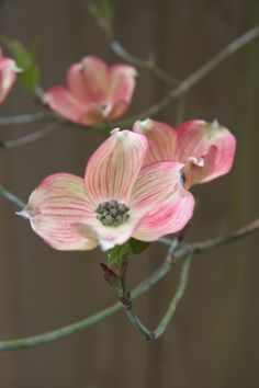 Dog Wood Tree Flower