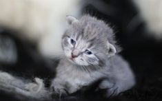 Download wallpapers small gray kitten, cute animals, gray cat, cat breeds, British cat, pets