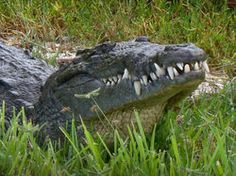 Sanibel's most prominent reptile inhabitant