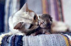 Mother cat kisses her adorable kitten